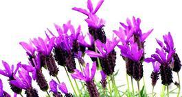 Fioletowe kwiaty – Rośliny w kolorze fioletowym
