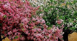 Wiśnia ozdobna w ogrodzie