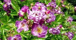 Róże rabatowe – piękno w ogrodzie
