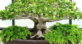 Pielgnacja bonsai