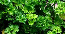 Pietruszka naciowa i korzeniowa – odmiany
