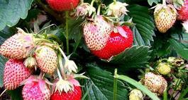 Uprawa truskawek – owoce w ogrodzie