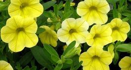 Calibrachoa - nieznany kwiat