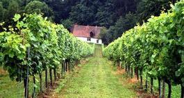 Choroby i szkodniki winogron