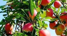 Odmiany jabłoni