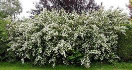 Żylistek – niesamowity krzew ogrodowy