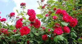 Czerwone róże - najciekawsze odmiany