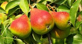 Najciekawsze odmiany drzew owocowych