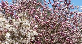 Magnolie - uprawa, pielęgnacja, odmiany