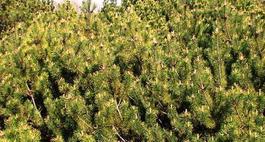 Brązowienie igieł iglaków