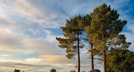 Sosna czarna - Pinus nigra