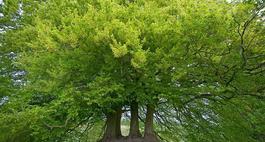 Wiąz górski – Ulmus glabra
