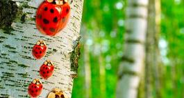 Brzoza brodawkowata (brzoza zwisła) – Betula pendula