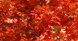 Klon czerwony - Acer rubrum