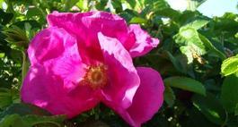 Dzika róża - Rosa canina