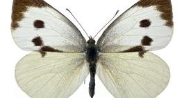 Bielinek kapustnik -  Pieris brassicae