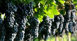 Winogrona w ogrodzie
