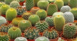 Zdjęcia kaktusów- galeria