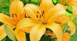 Odmiany lilii ogrodowej  - Lilium