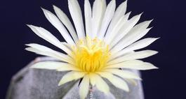 Astrofytum przedziwne - Czapka biskupa
