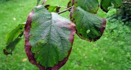 Brązowienie liści