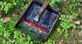 Czarna jagoda – Borówka czarna