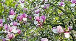 Choroby i szkodniki  magnolii