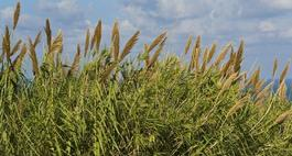 Trzcina wodna - Phragmites australis