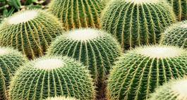 Echinokaktus Grusona - Echinocactus grusonii