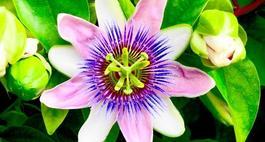 Passiflora (męczennica) – uprawa, pielęgnacja i owoce