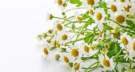 Rumianek pospolity – uprawa, zastosowanie i właściwości lecznicze