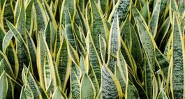 Sansewieria – uprawa, pielęgnacja i odmiany