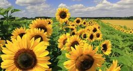Uprawa słonecznika