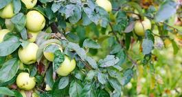 Jabłoń Antonówka