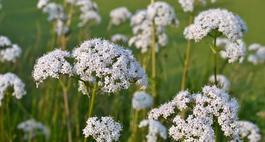 Biedrzeniec – uprawa, odmiany i zastosowanie