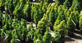 Kiedy i jak sadzić iglaki?