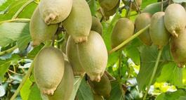 Aktinidia (kiwi) – wskazówki uprawy, pielęgnacji i popularne odmiany