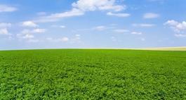 Lucerna siewna - uprawa i właściwości