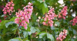 Kasztanowiec czerwony – opis uprawy, pielęgnacji i sadzonki
