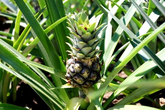 Ananas doniczkowy