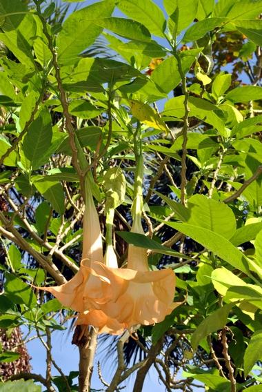 Brugmansja (Brugmansia) – Bieluń Drzewiasty
