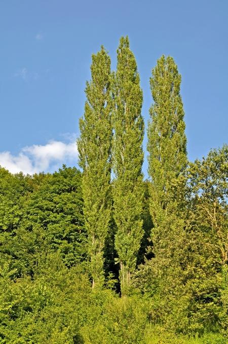Topola uprawiamy topole w ogrodzie i parku