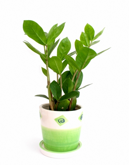 Zamiokulkas - Zamioculcas zamiifolia