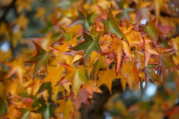 Ambrowiec balsamiczny - liście