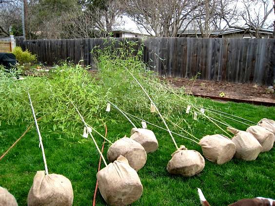 Sadzenie bambusów