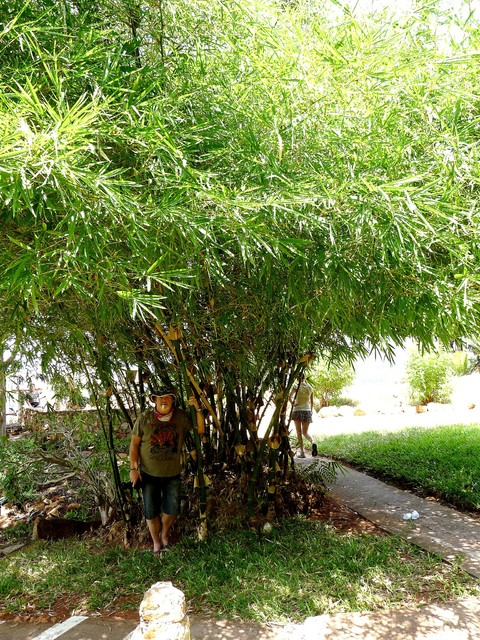 Bambus ogrodowy