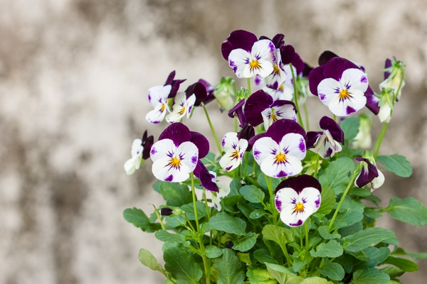 Bratek polny – fiołek trójbarwny