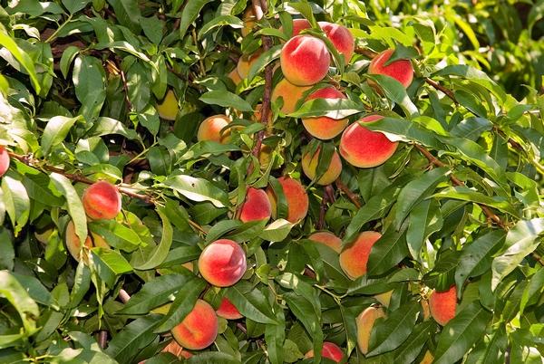 Brzoskwinie - odmiany brzoskwiń