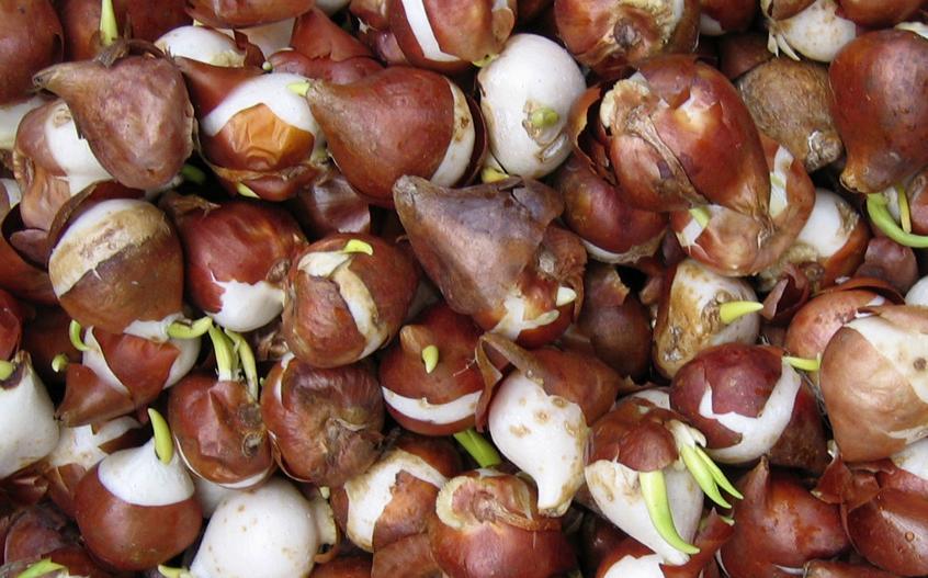 Cebulki kwiatowe sadzenie
