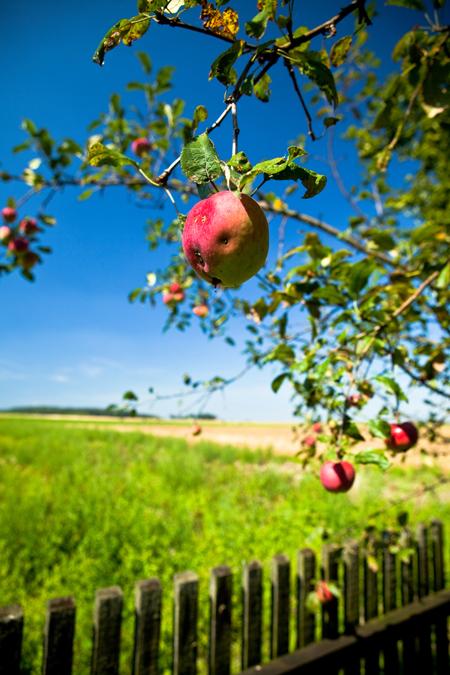 Choroby jabłoni